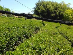 無農薬煎茶の畑