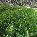 無農薬の抹茶について その1